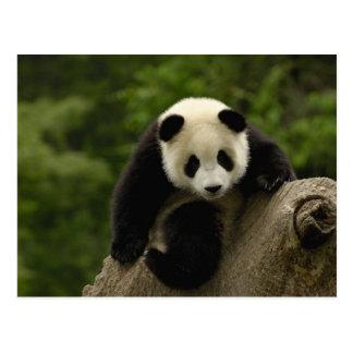 Giant panda baby Ailuropoda melanoleuca) 9 Postcard