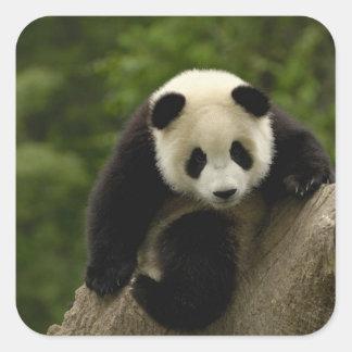 Giant panda baby Ailuropoda melanoleuca) 9 Square Stickers