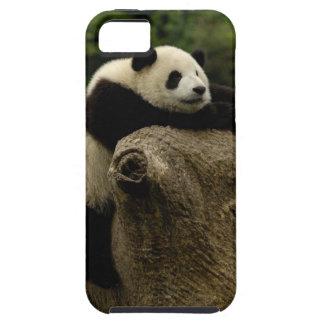 Giant panda baby (Ailuropoda melanoleuca) iPhone 5 Cover