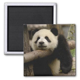 Giant panda baby Ailuropoda melanoleuca) Magnet