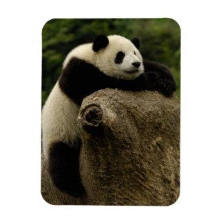 Giant panda baby (Ailuropoda melanoleuca) Magnet