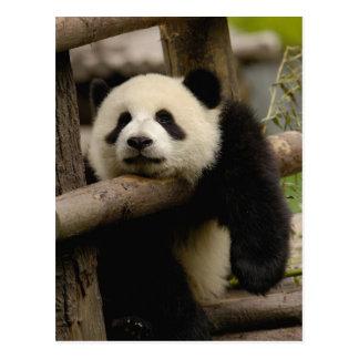 Giant panda baby Ailuropoda melanoleuca) Postcard