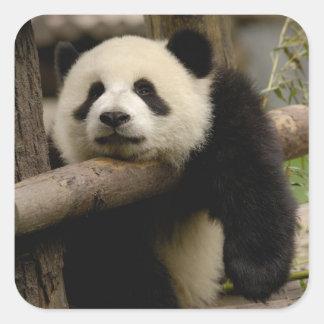 Giant panda baby Ailuropoda melanoleuca) Square Sticker