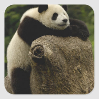 Giant panda baby (Ailuropoda melanoleuca) Square Sticker