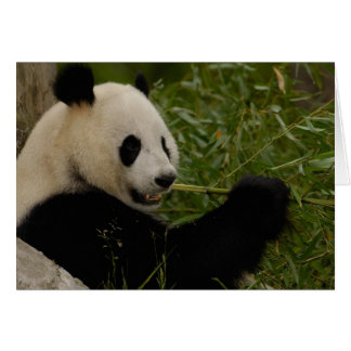 Giant panda baby eating bamboo (Ailuropoda Card
