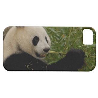 Giant panda baby eating bamboo (Ailuropoda iPhone 5 Case