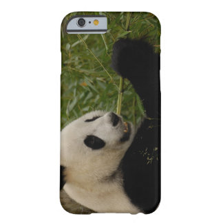 Giant panda baby eating bamboo (Ailuropoda Barely There iPhone 6 Case