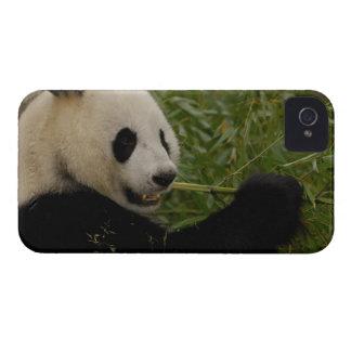 Giant panda baby eating bamboo (Ailuropoda iPhone 4 Case