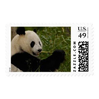 Giant panda baby eating bamboo (Ailuropoda Postage