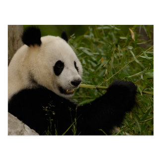 Giant panda baby eating bamboo (Ailuropoda Postcard