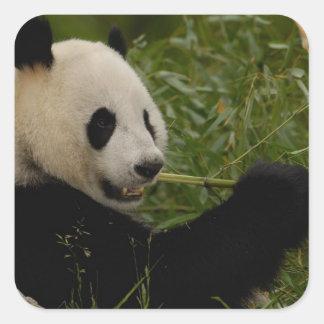 Giant panda baby eating bamboo (Ailuropoda Square Stickers