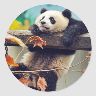 Giant panda baby over the tree classic round sticker