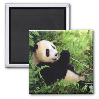 Giant Panda Bear 2 Inch Square Magnet