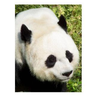 Giant Panda Close Up Portrait Postcard
