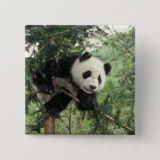 Giant Panda cub climbs a tree, Wolong Valley, Button