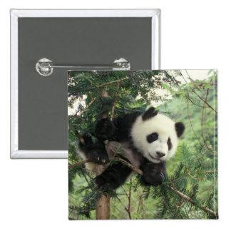 Giant Panda cub climbs a tree, Wolong Valley, Pins