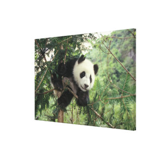 Giant Panda cub climbs a tree, Wolong Valley, Canvas Print