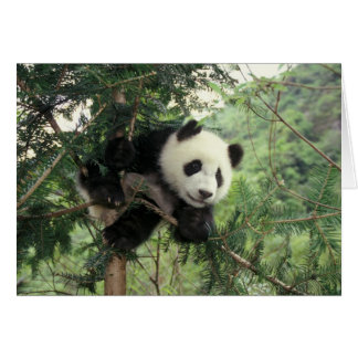 Giant Panda cub climbs a tree, Wolong Valley, Card