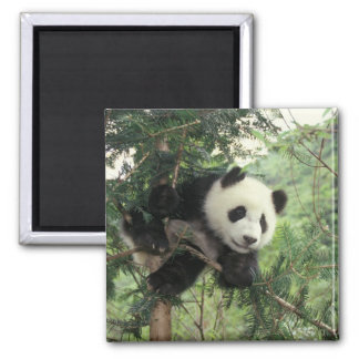 Giant Panda cub climbs a tree, Wolong Valley, Magnet