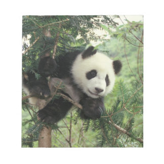 Giant Panda cub climbs a tree, Wolong Valley, Notepad