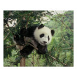 Giant Panda cub climbs a tree, Wolong Valley, Poster