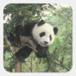 Giant Panda cub climbs a tree, Wolong Valley, Square Sticker