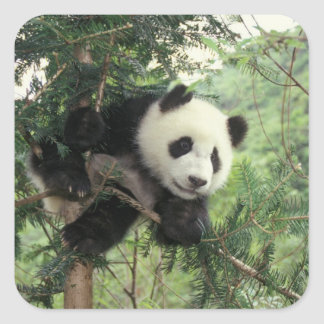 Giant Panda cub climbs a tree, Wolong Valley, Square Sticker
