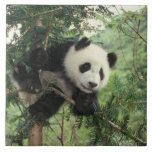 Giant Panda cub climbs a tree, Wolong Valley, Tile