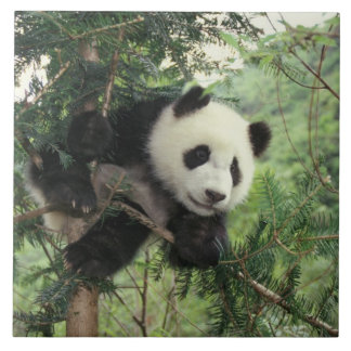 Giant Panda cub climbs a tree, Wolong Valley, Tile