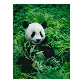 Giant Panda cub eats bamboo in the bush, Postcard