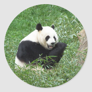 Giant Panda Eating Bamboo Classic Round Sticker