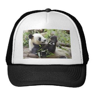 Giant panda eating bamboo hats