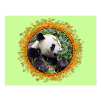 Giant panda eating bamboo in frame postcard
