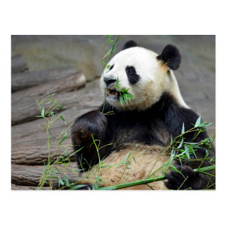 Giant panda eating bamboo postcard
