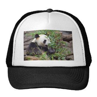 Giant panda eating bamboo trucker hats