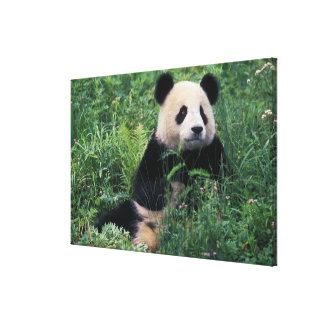 Giant panda in the grass, Wolong Valley, Sichuan Canvas Print