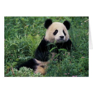 Giant panda in the grass, Wolong Valley, Sichuan Card