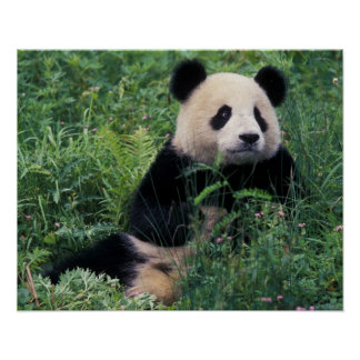 Giant panda in the grass, Wolong Valley, Sichuan Poster