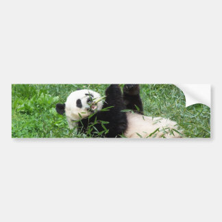 Giant Panda Lounging Eating Bamboo Bumper Sticker
