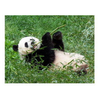 Giant Panda Lounging Eating Bamboo Postcard