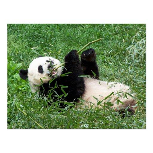 Giant Panda Lounging Eating Bamboo Post Card