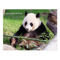 Giant Panda Mei Xiang Postcard