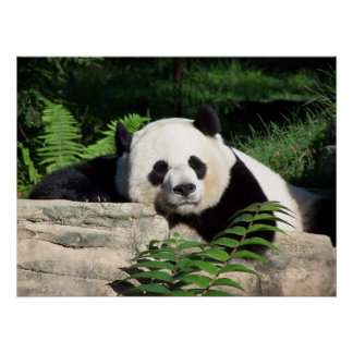 Giant Panda Napping Poster