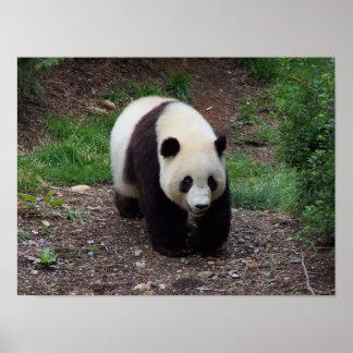 Giant Panda Photo Poster