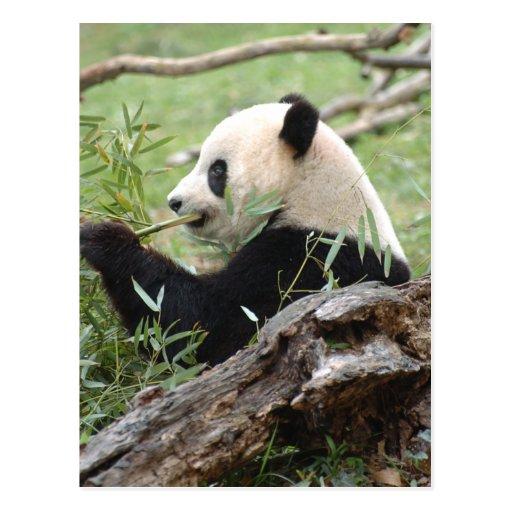 Giant Panda Post Cards