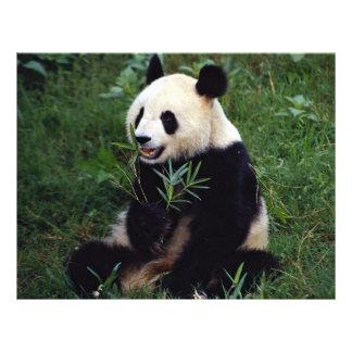 Giant panda, Sichuan Province, China Flyer