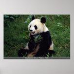 Giant panda, Sichuan Province, China Print