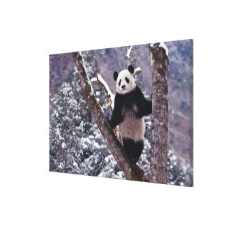 Giant Panda standing on tree, Wolong, Sichuan, Canvas Print