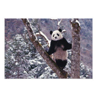 Giant Panda standing on tree, Wolong, Sichuan, Photo Print