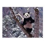 Giant Panda standing on tree, Wolong, Sichuan, Postcard